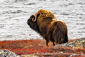 Barren Ground Muskox Hunt