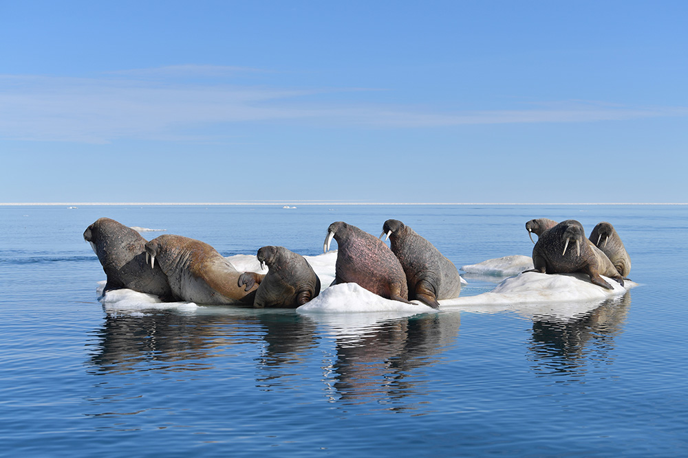 First Walrus Hunt